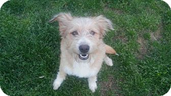 Terrier (Unknown Type, Medium) Mix Dog for adoption in Bedminster, New Jersey - Rosco