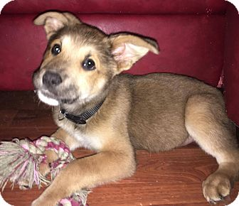 German Shepherd Dog Mix Puppy for adoption in Charlotte, North Carolina - Archer