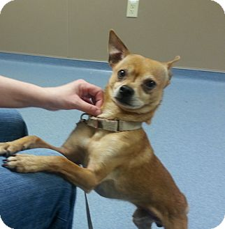 Chihuahua/Miniature Pinscher Mix Dog for adoption in Holland, Ohio - Jake