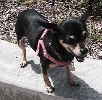 Manchester Terrier/Chihuahua Mix Dog for adoption in Vista, California - DeDe