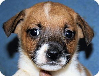 Jack Russell Terrier/Hound (Unknown Type) Mix Puppy for adoption in Colonial Heights, Virginia - Kallie