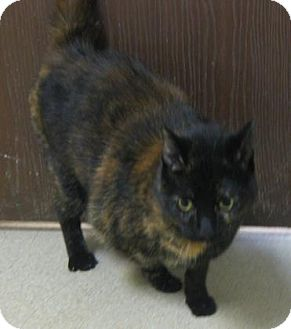 Domestic Shorthair Cat for adoption in Gary, Indiana - Toodles