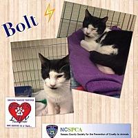 Domestic Shorthair Cat for adoption in Westbury, New York - Bolt