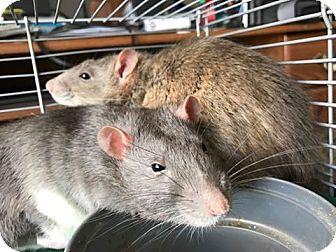 Rat for adoption in Baltimore, Maryland - Luigi