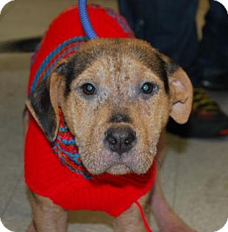Pit Bull Terrier/Terrier (Unknown Type, Medium) Mix Puppy for adoption in Brooklyn, New York - Ginger