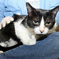 Domestic Mediumhair Cat for adoption in Pittsburgh, Pennsylvania - HAYLEE