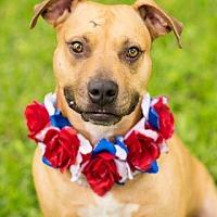 Adopt A Pet :: Ashley - Hartford, CT
