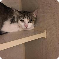 Adopt A Pet :: Sorbet - Orleans, VT
