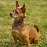 Adopt A Pet :: Roady - Shelby, NC