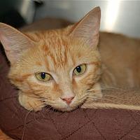 Adopt A Pet :: Duchess - Huntsville, AL