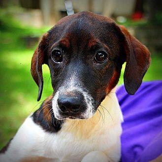Beagle Mix Puppy for adoption in CRANSTON, Rhode Island - Zella