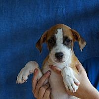 Adopt A Pet :: Taro - Oviedo, FL