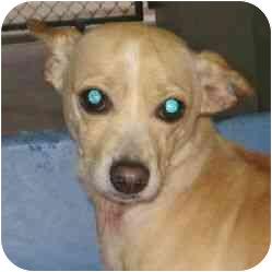 Chihuahua/Dachshund Mix Dog for adoption in Berkeley, California - Elf