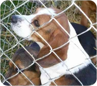 Beagle Dog for adoption in Indianapolis, Indiana - Buzz