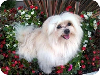 Maltese/Pomeranian Mix Dog for adoption in Los Angeles, California - THOR