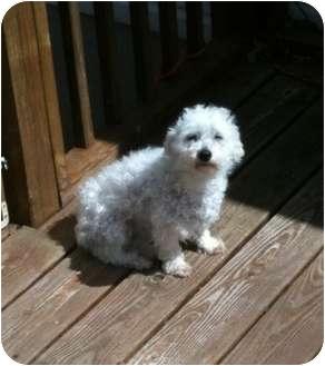 Poodle (Miniature) Dog for adoption in Henrico, Virginia - Divine