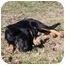 Photo 4 - Australian Shepherd Mix Puppy for adoption in Salem, New Hampshire - Usher