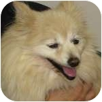 Pomeranian Mix Dog for adoption in Eatontown, New Jersey - Lucky