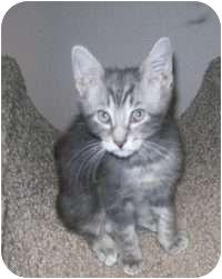 Domestic Shorthair Kitten for adoption in Tampa, Florida - Mason