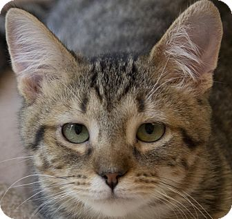 Domestic Shorthair Cat for adoption in Cincinnati, Ohio - Widget