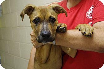 Shepherd (Unknown Type) Mix Puppy for adoption in Elyria, Ohio - Skyler