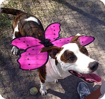 Boxer/Shepherd (Unknown Type) Mix Dog for adoption in Corpus Christi, Texas - Gwen