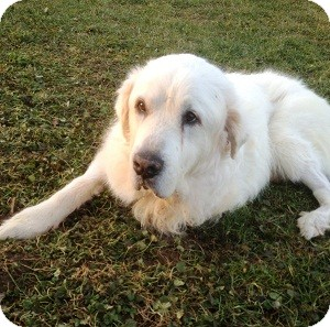 Great Pyrenees Dog for adoption in North Wales, Pennsylvania - Jackson
