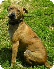 Pit Bull Terrier/Carolina Dog Mix Dog for adoption in Lincolnton, North Carolina - Bessie