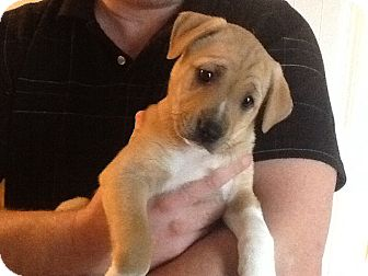 Labrador Retriever Mix Puppy for adoption in Marshfield, Massachusetts - Bootsie-pending