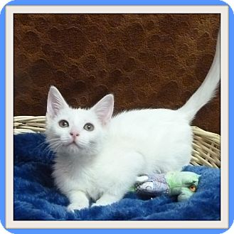 Domestic Shorthair Kitten for adoption in Glendale, Arizona - Lemmy