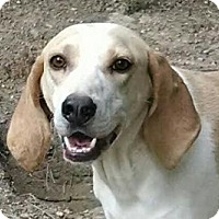 Adopt A Pet :: Tiger Lilly - Staunton, VA