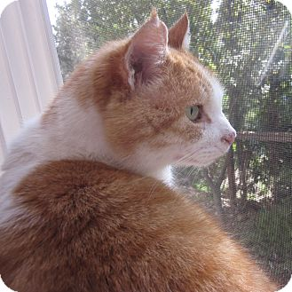 Domestic Shorthair Cat for adoption in Davis, California - Boomer