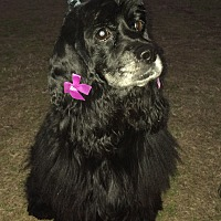 Cocker Spaniel Dog for adoption in Cranston, Rhode Island - Tanya