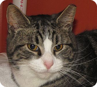 Domestic Shorthair Cat for adoption in Walden, New York - Arthur
