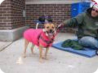Pug/Miniature Pinscher Mix Dog for adoption in Park Ridge, New Jersey - Buttercup