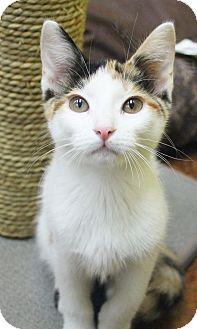 Calico Kitten for adoption in Benbrook, Texas - Ursula