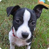Adopt A Pet :: Elvis aka Pudge - Bedminster, NJ