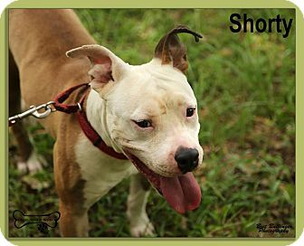 American Staffordshire Terrier Mix Dog for adoption in Sarasota, Florida - Shorty