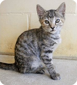 Domestic Shorthair Kitten for adoption in Umatilla, Florida - Olivia