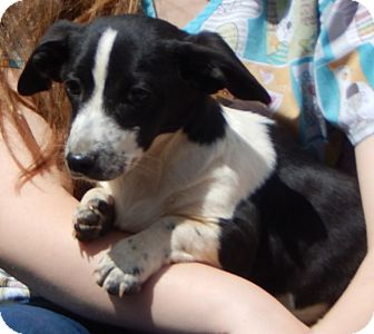 Corgi/Terrier (Unknown Type, Small) Mix Puppy for adoption in West Sand Lake, New York - Timmy (10 lb) Sweet Pea!