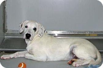 Hound (Unknown Type)/Labrador Retriever Mix Dog for adoption in Ruidoso, New Mexico - Joey