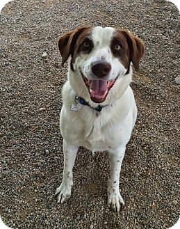 Brittany Mix Dog for adoption in Chino Valley, Arizona - Brittany
