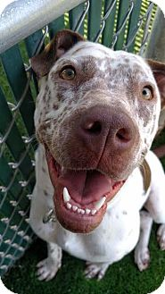 Cattle Dog/Pointer Mix Dog for adoption in Colorado Springs, Colorado - Freckles