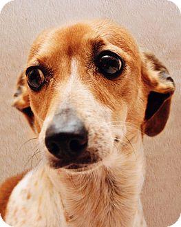 Dachshund Dog for adoption in Warner Robins, Georgia - Arizona