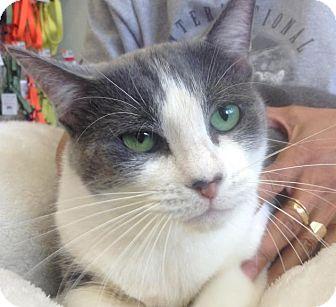 Domestic Shorthair Cat for adoption in New York, New York - Kia