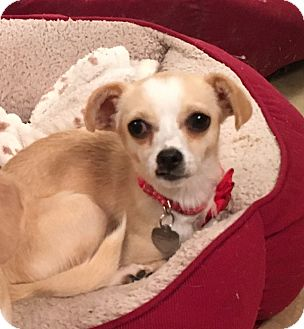 Chihuahua Mix Dog for adoption in San Diego, California - Wobbles