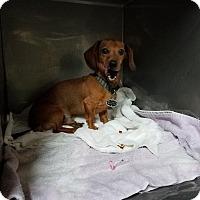 Adopt A Pet :: Boss - Lubbock, TX