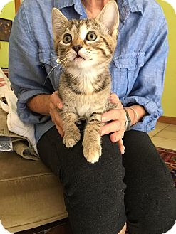 Domestic Shorthair Kitten for adoption in Gainesville, Florida - Pinot