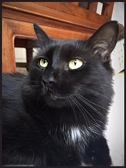 Domestic Mediumhair Cat for adoption in Los Angeles, California - Vespa