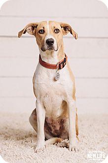 Australian Cattle Dog/Hound (Unknown Type) Mix Dog for adoption in Portland, Oregon - Arlene